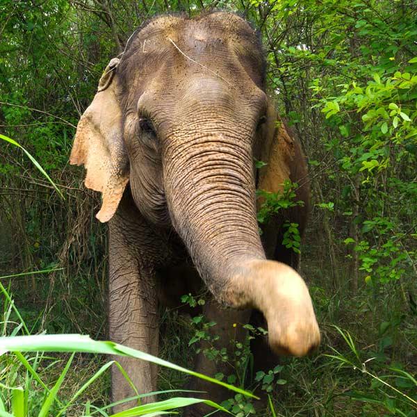 rescued elephant enjoys her freedom at Pattaya Elephant Sanctuary Thailand