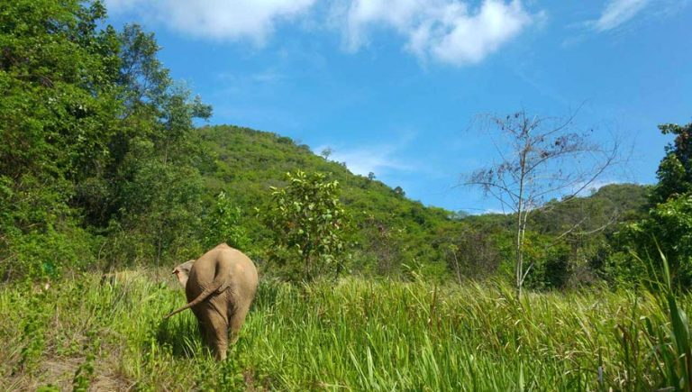 Elephant wanders at Pattaya Elephant Sanctuary Thailand