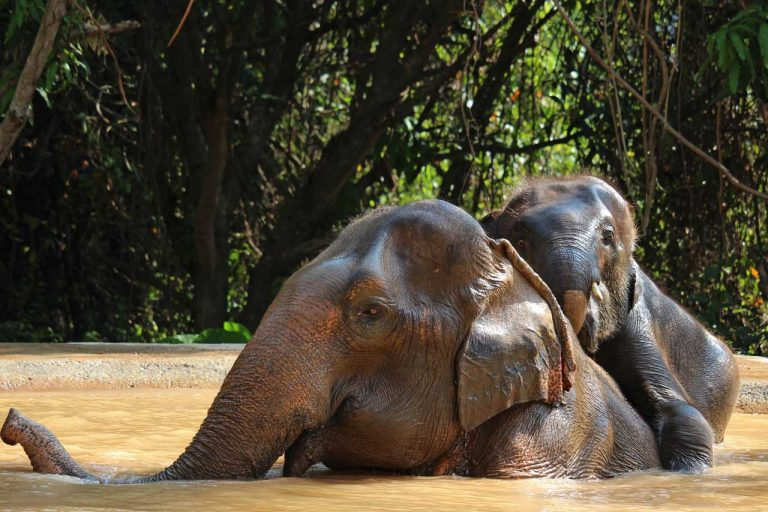 young elephant clambers onto the back of his nanny at Pattaya Elephant Sanctuary Thailand