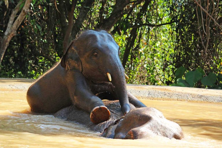 young elephant plays with his nanny at Pattaya Elephant Sanctuary Thailand