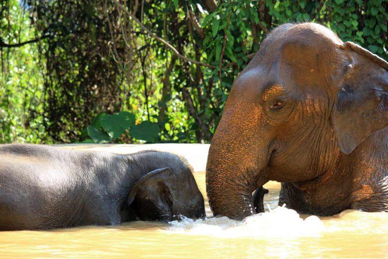 elephants bonding at Pattaya Elephant Sanctuary Thailand