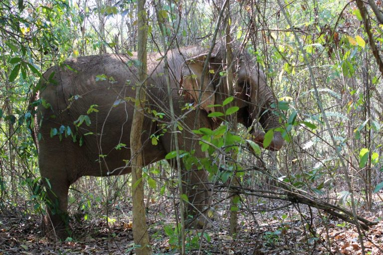 Thai elephant in the jungle at Pattaya Elephant Sanctuary Thailand