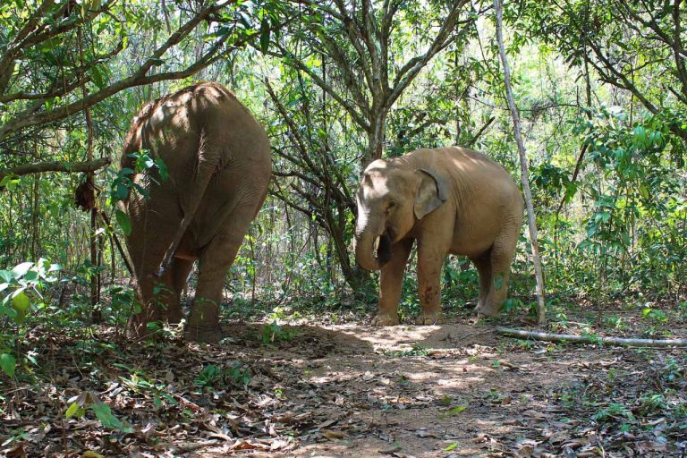 elephants forage in the jungle at Pattaya Elephant Sanctuary Thailand