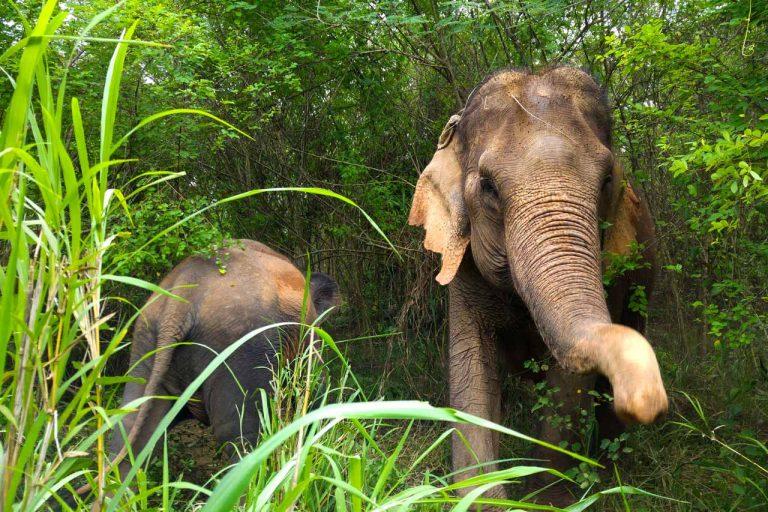elephants forage at Pattaya Elephant Sanctuary Thailand