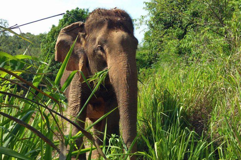 elephant eats grass at Pattaya Elephant Sanctuary Thailand