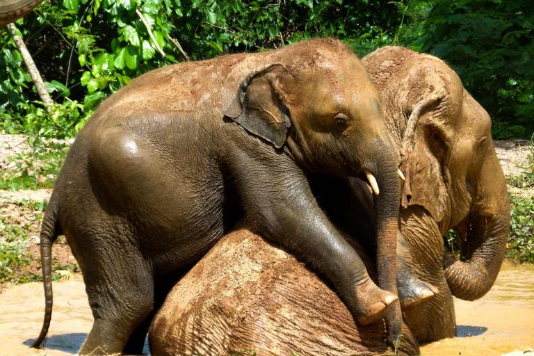 young and old elephants play at Pattaya Elephant Sanctuary Thailand