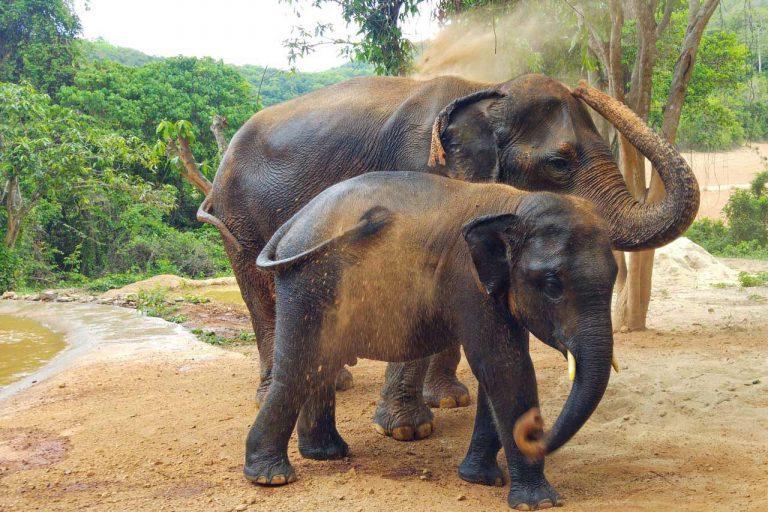 elephants give themselves a dust bath at Pattaya Elephant Sanctuary Thailand