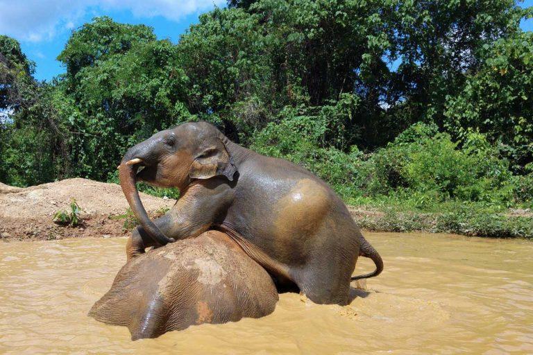 elephants play together at Pattaya Elephant Sanctuary Thailand
