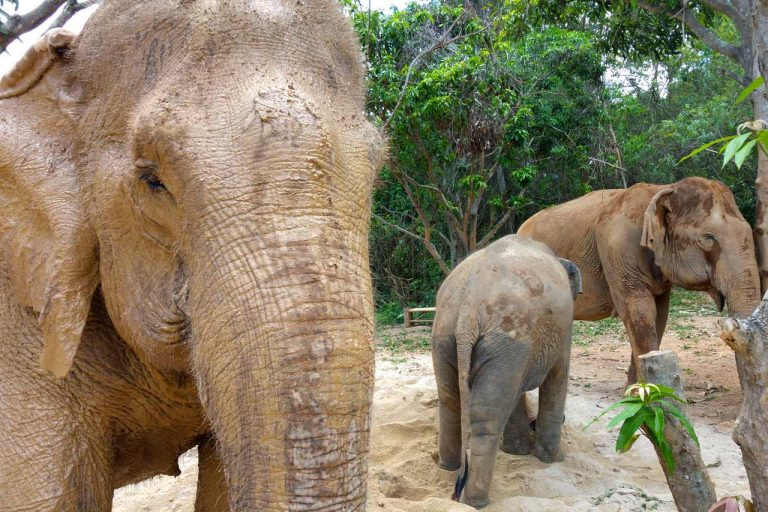 The herd hanging out together at Pattaya Elephant Sanctuary Thailand