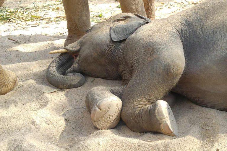 young elephant takes a nap at Pattaya Elephant Sanctuary Thailand