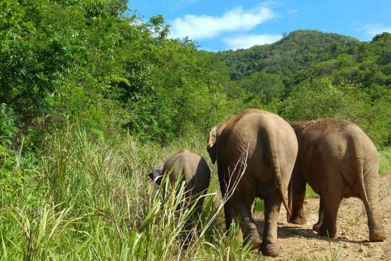 The herd at Pattaya Elephant Sanctuary Thailand walk wander together
