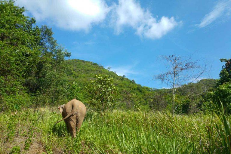 rescued elephant roams at Pattaya Elephant Sanctuary Thailand