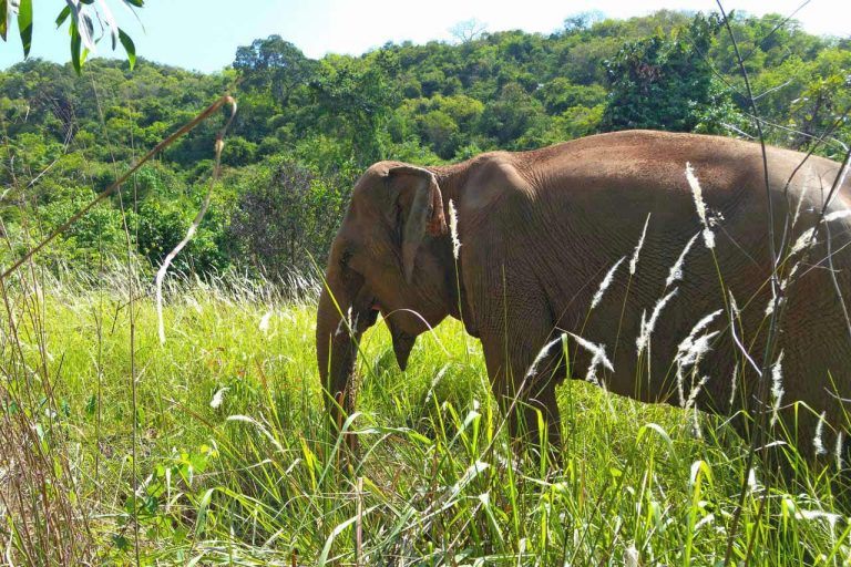 rescued elephant enjoys her fredom at Pattaya Elephant Sanctuary Thailand