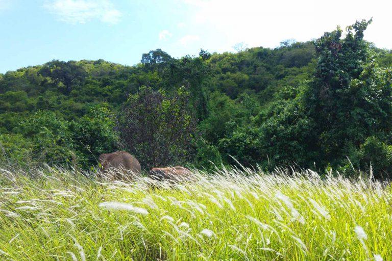 elephants roam and forage at Pattaya Elephant Sanctuary Thailand