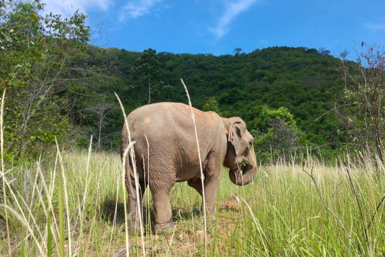 Elephant roams at Pattaya Elephant Sanctuary Thailand