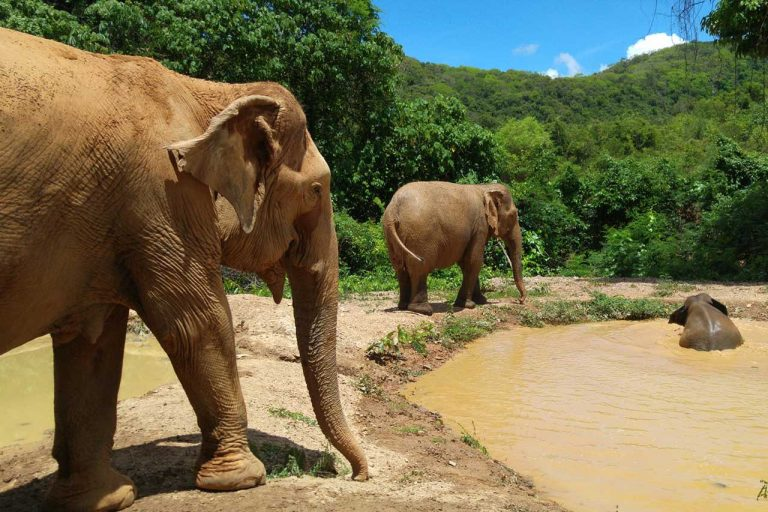 The herd at Pattaya Elephant Sanctuary Thailand take a mud bath