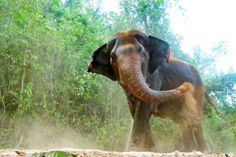 elephant takes a dust bath at Pattaya Elephant Sanctuary Thailand
