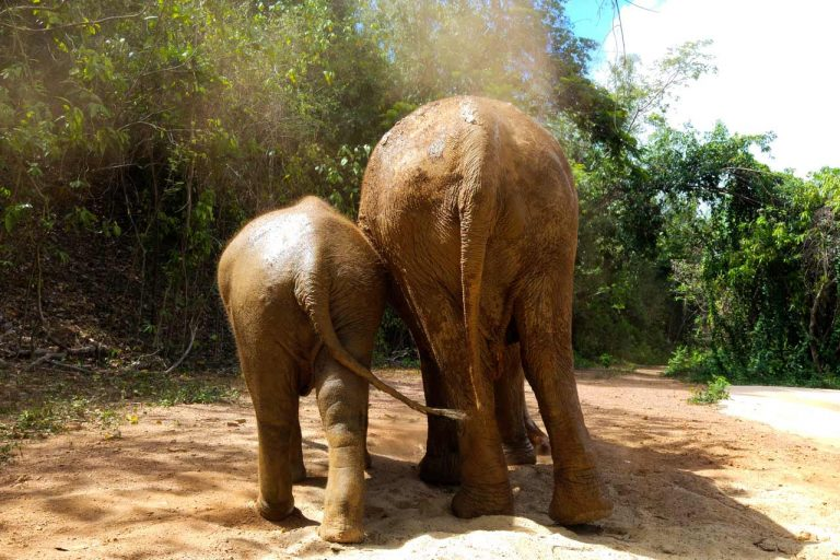 Young elephant walks with his nanny at Pattaya Elephant Sanctuary Thailand