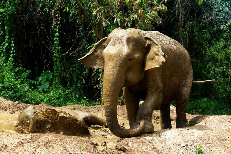 elephants splashing in the mud at Pattaya Elephant Sanctuary Thailand