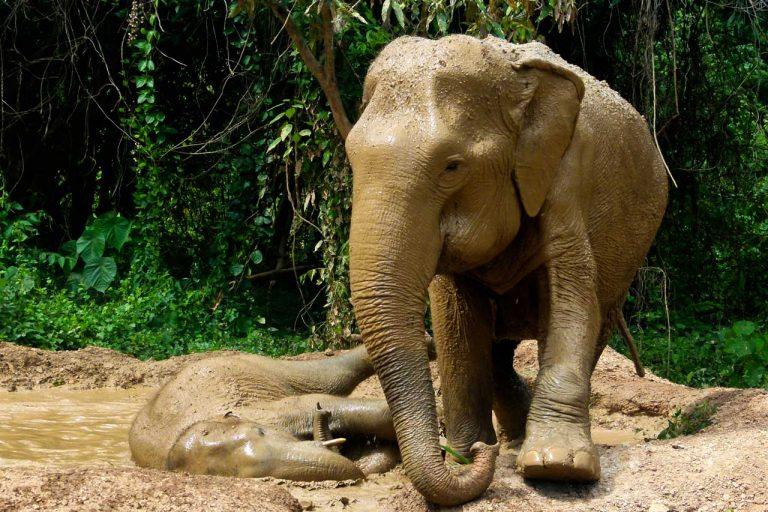 Elephant relax at the mud pit at Pattaya Elephant Sanctuary Thailand
