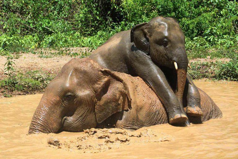 ELephants play in the mud at Pattaya Elephant Sanctuary Thailand