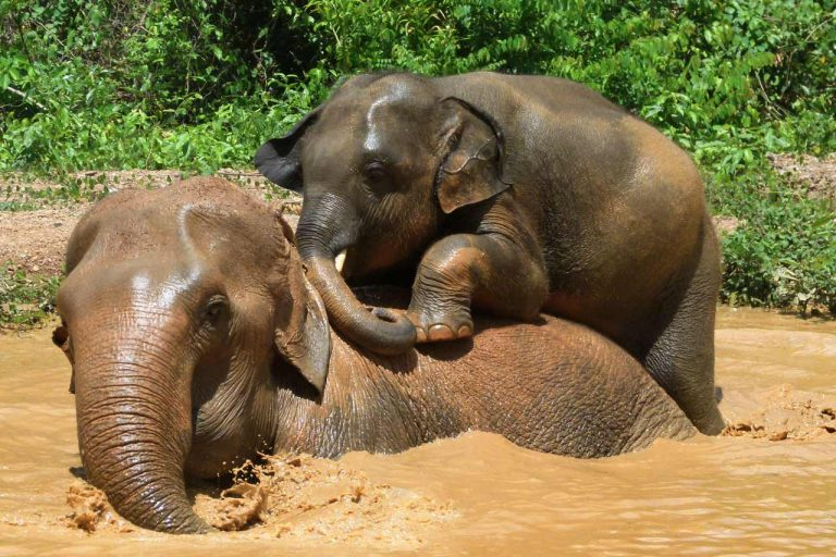 Younf elephant playing with his nanny at Pattaya Elephant Sanctuary Thailand