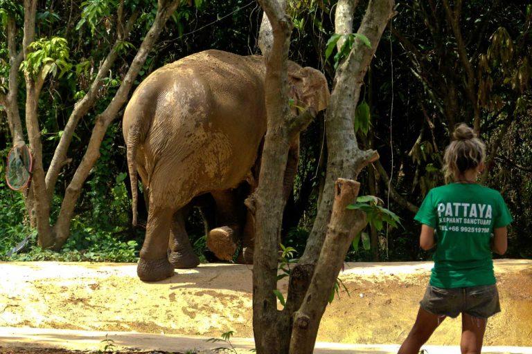 observing elephants at Pattaya Elephant Sanctuary Thailand