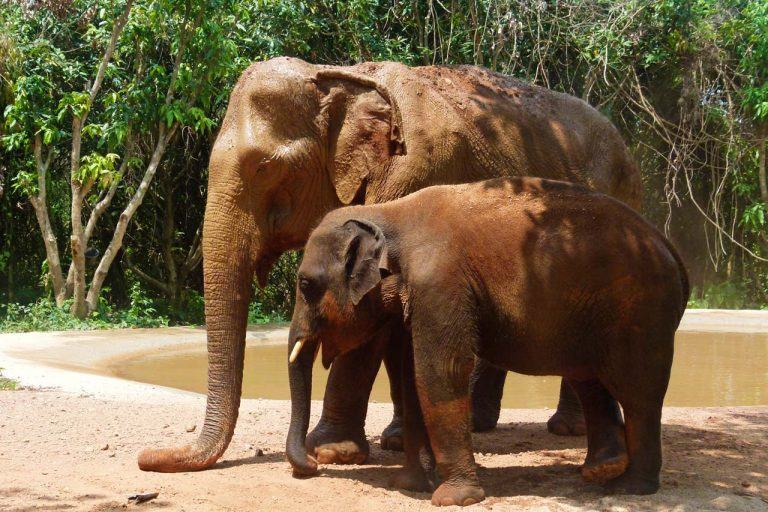 Female elephant is nanny to young elephant at Pattaya Elephant Sanctuary Thailand