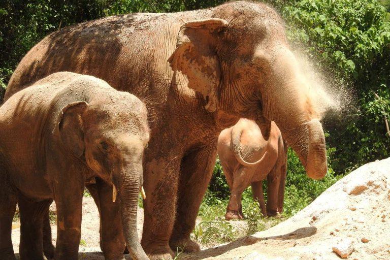 Elephant take a dust bath at Pattaya Elephant Sanctuary