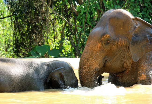 Elephants bathing atPattaya Elephant Sanctuary Thailand