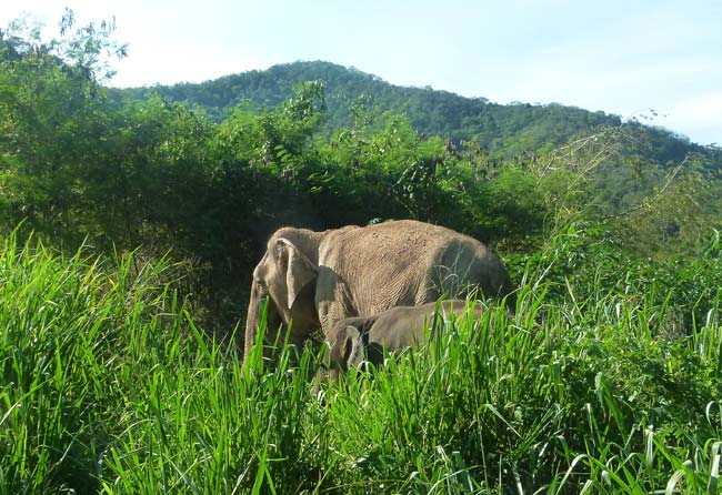 Elephants roam Pattaya Elephant Sanctuary Thailand