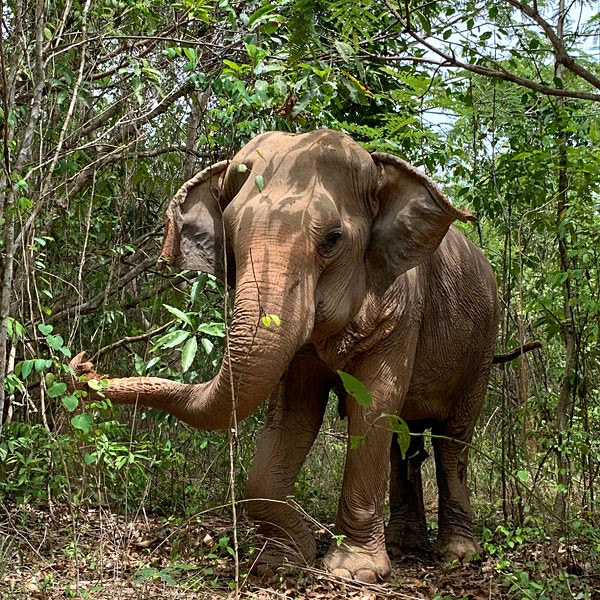elephant forages in the forest at Pattaya Elephant Sanctuary Thailand
